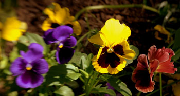 Pansies at inger tower flk