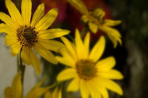 Yellow field daisey