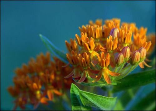 Butterfly milkwd show okf copy