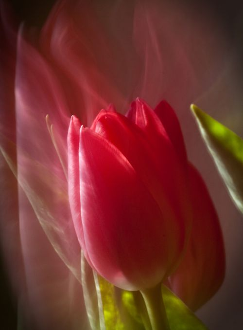 850 dpi tulips bokeh w vig a copy b