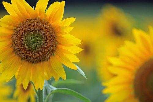 550-dpi-sun-flower-sngl-adj