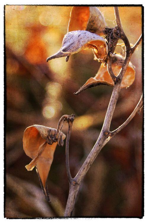 550-dpi-2011-11-20-milkweed