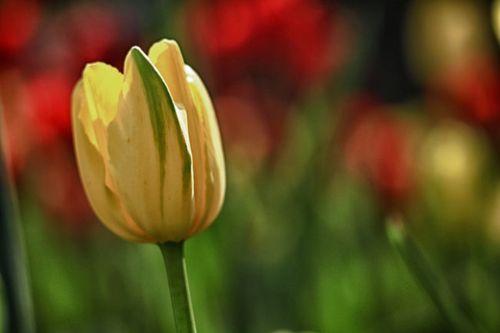 Tulip-hdr-1-copy
