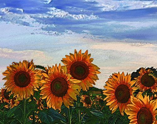 550-dpi-sunflowers-w-sky