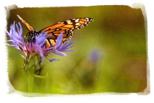 Web watercolor butterfly copya  copy