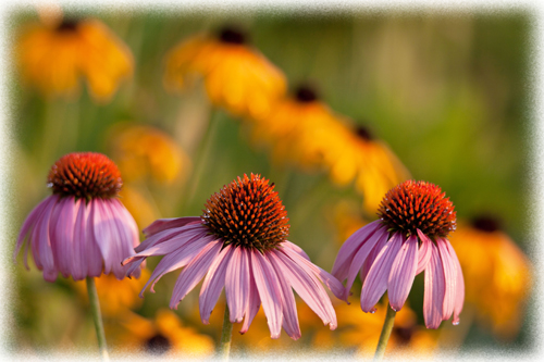 550-web-trio-cone-flowers-w a