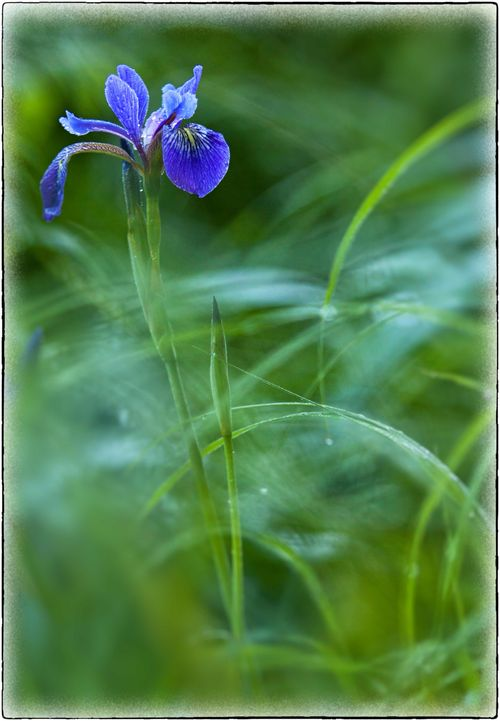 Web-blue-flag-iris-w-on1-fo