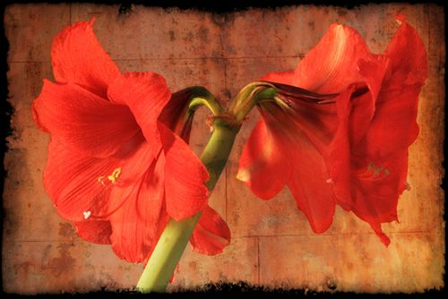 550 web image Amaryllis w onone final copy