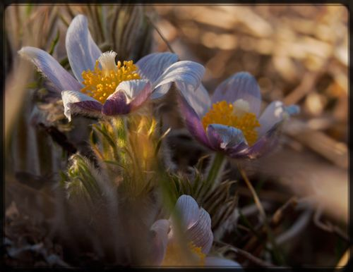 Web-pasque flower horz