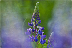 Web 300  lupine rice-text -crop w- nik brdr copy_edited-1
