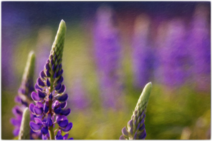 300 web lupine_edited-1