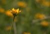 Single_flower