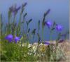 Purple_flowers1