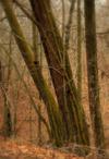 Moss_trees_at_ledges_1a